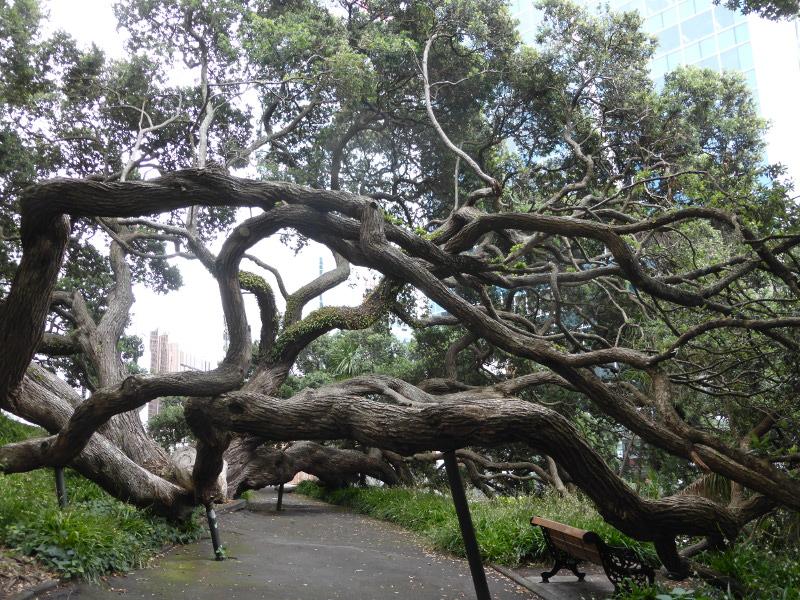 Pohutukawa Baum Aukland